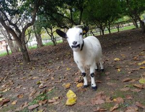 capretta-animali-fattoria-didattica-asineria-animagricola
