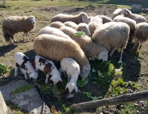pecore-capre-mangiano-cibo-bio-naturale-fattoria-didattica-animagricola