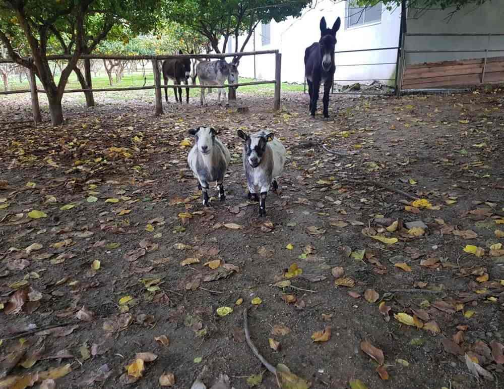capre-asini-animali-x-bambini-fattoria-didattica-animagricola